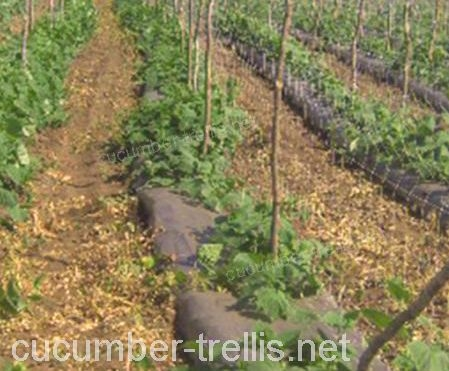 cucumber trellis netting in an open field