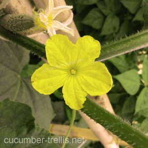 cucumber flower plant