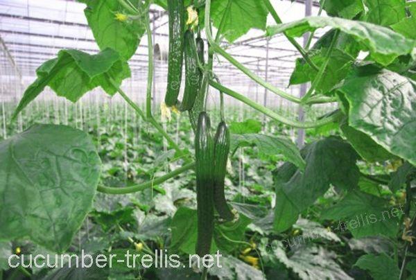 high wire cucumber trellises