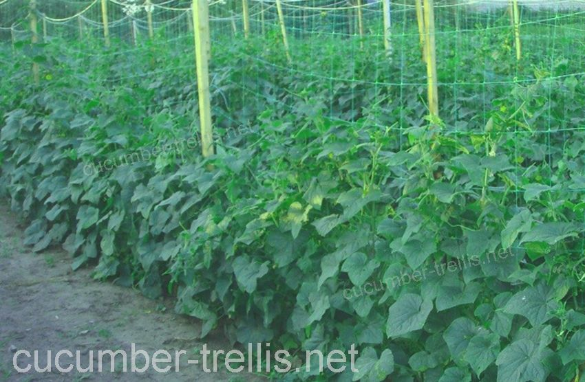 cucumber espalier trellis netting