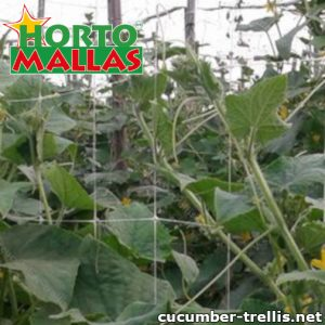 Cucumber trellis placed in the crops