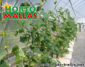Cucumber Trellis Height