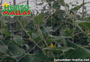 Lattice of cucumber and plant of vegetables